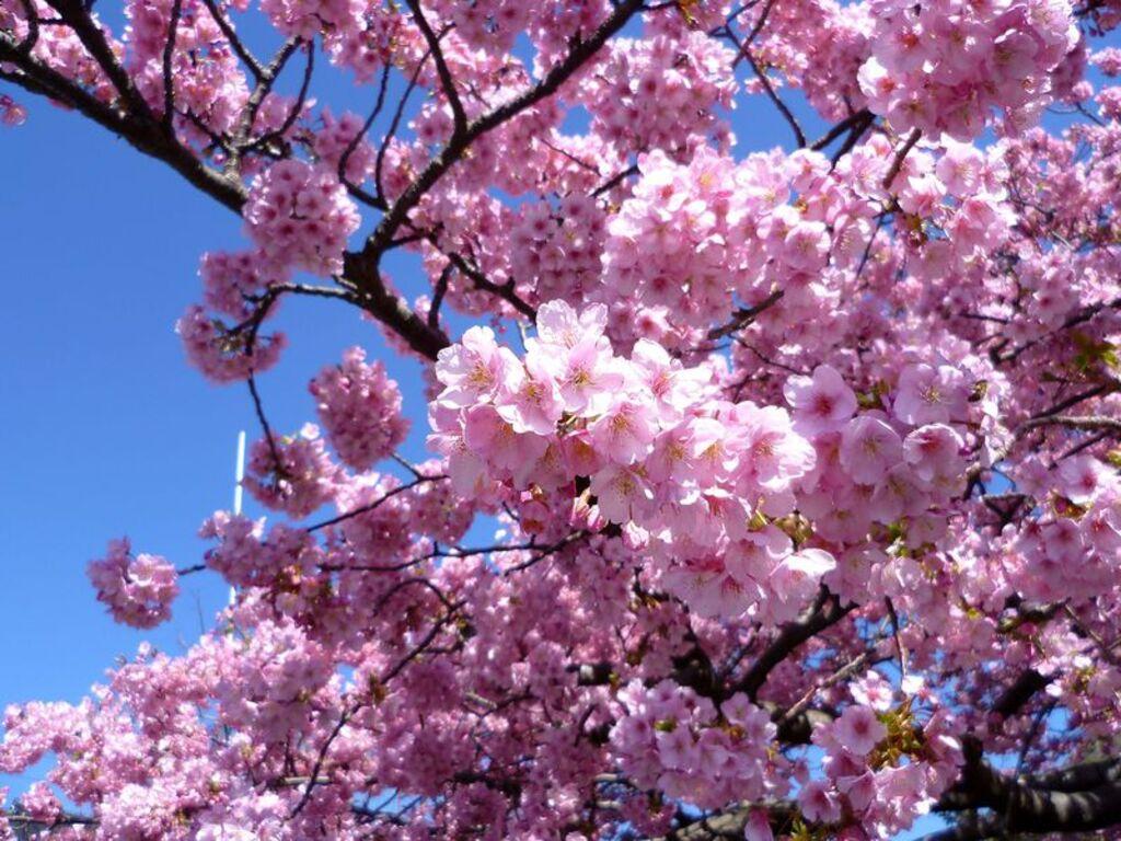 10 Festival Bunga Terbaik di Jepang